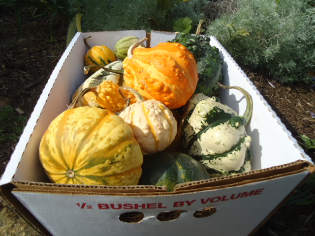 #VHGOURDA VALLEY HILLS ASSORTED MULTI SIZES-SHAPES-COLORS OF GOURDS- 1/2 BUSHEL